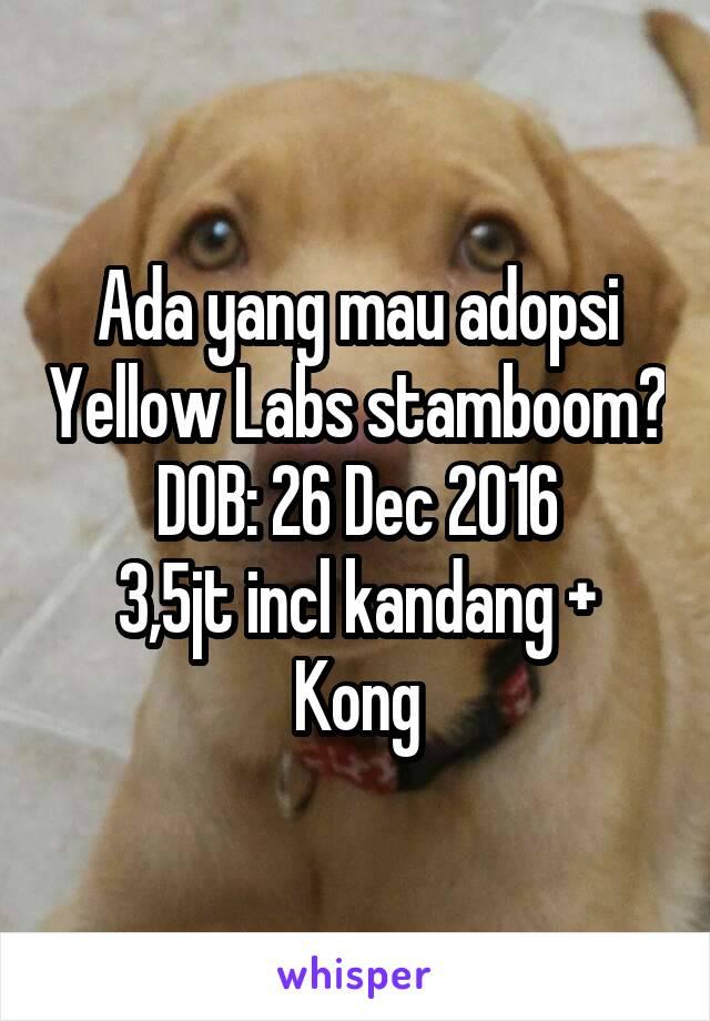 Ada yang mau adopsi Yellow Labs stamboom? DOB: 26 Dec 2016 3,5jt incl kandang + Kong