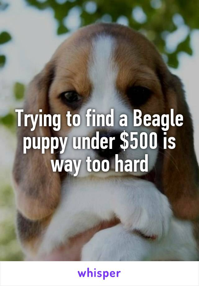 Trying to find a Beagle puppy under $500 is way too hard