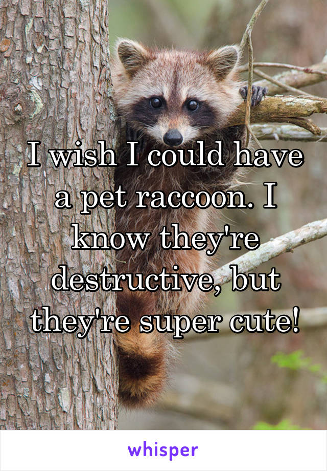 I wish I could have a pet raccoon. I know they're destructive, but they're super cute!