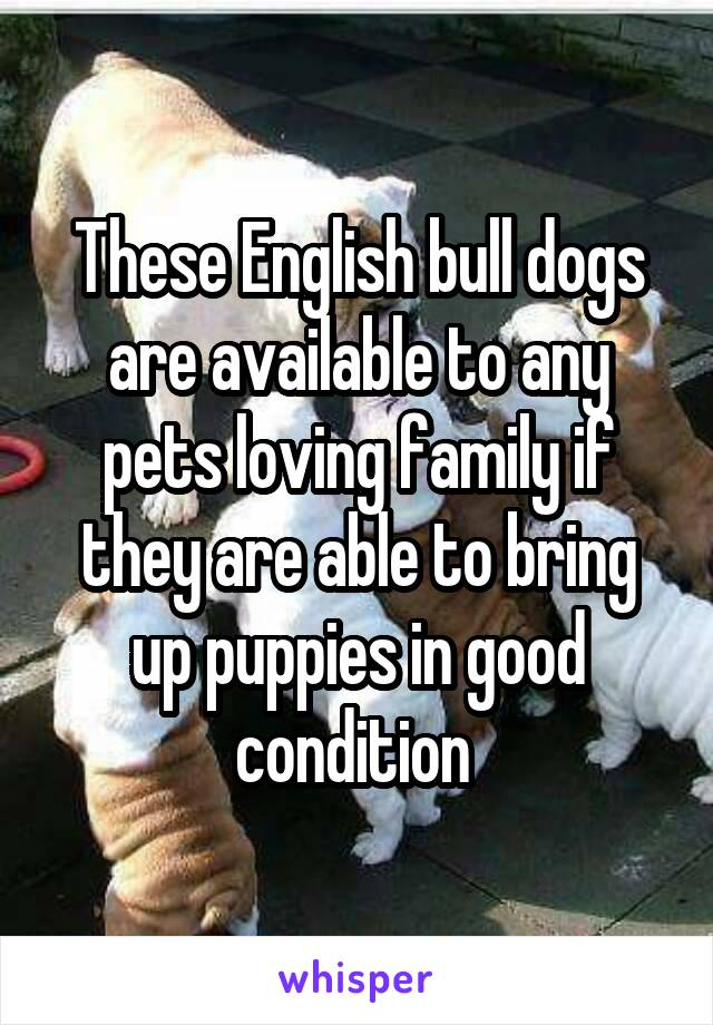 These English bull dogs are available to any pets loving family if they are able to bring up puppies in good condition