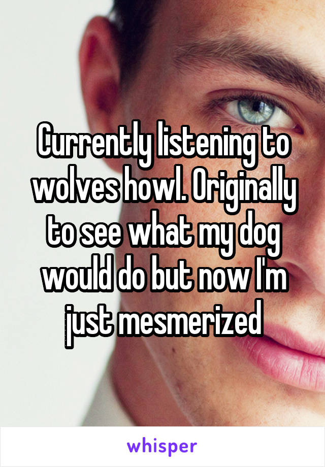 Currently listening to wolves howl. Originally to see what my dog would do but now I'm just mesmerized
