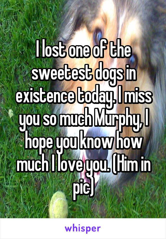 I lost one of the sweetest dogs in existence today. I miss you so much Murphy, I hope you know how much I love you. (Him in pic)