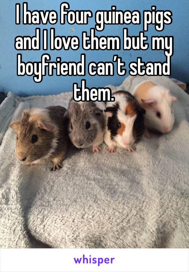 I have four guinea pigs and I love them but my boyfriend can't stand them.