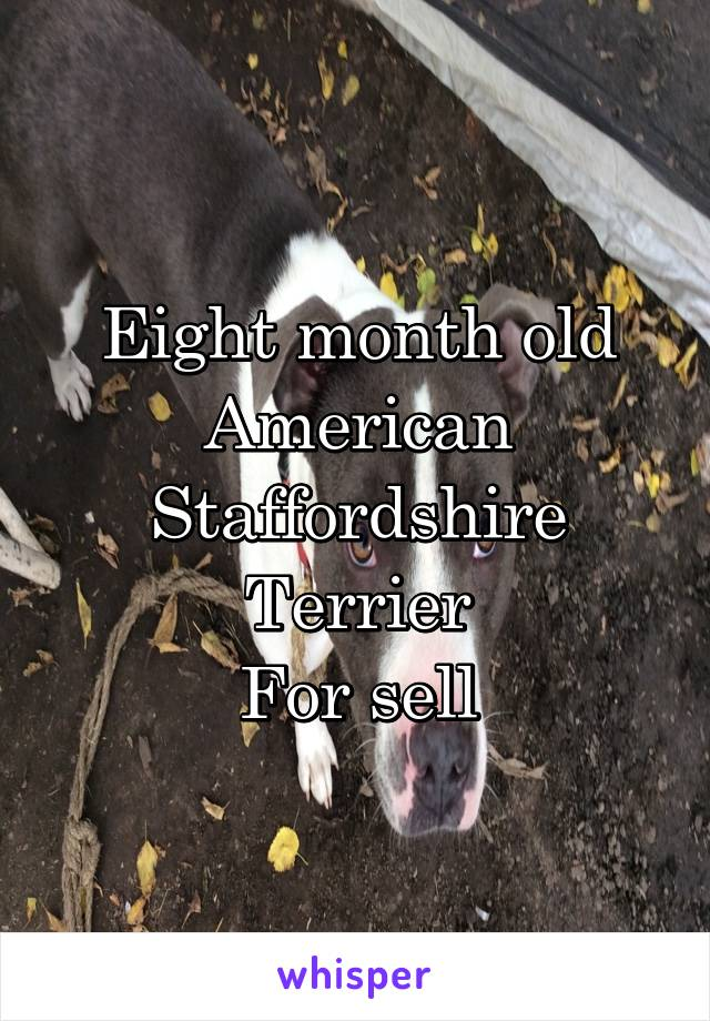 Eight month old American Staffordshire Terrier For sell