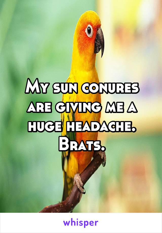 My sun conures are giving me a huge headache. Brats.