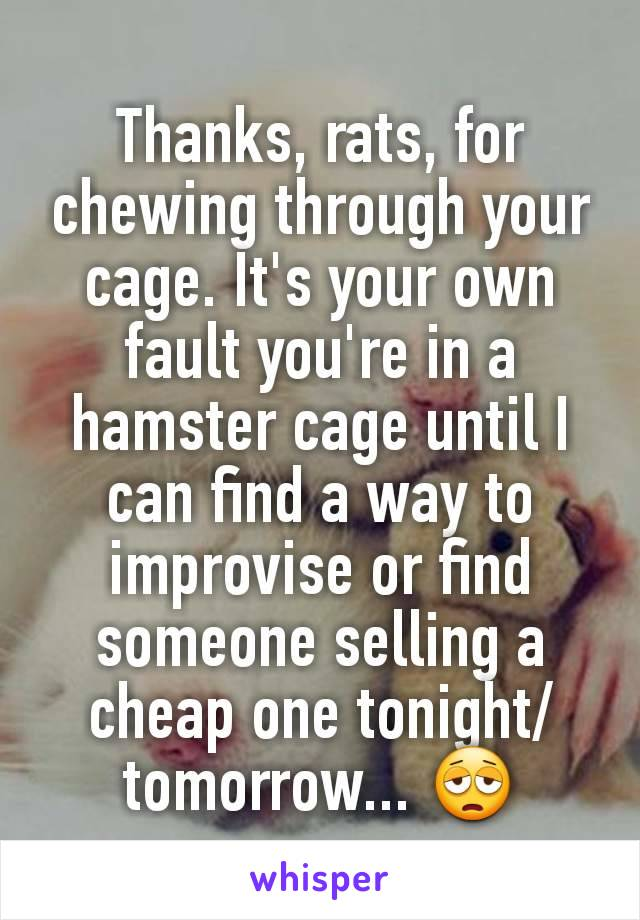 Thanks, rats, for chewing through your cage. It's your own fault you're in a hamster cage until I can find a way to improvise or find someone selling a cheap one tonight/tomorrow... 😩