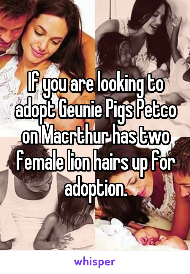 If you are looking to adopt Geunie Pigs Petco on Macrthur has two female lion hairs up for adoption.