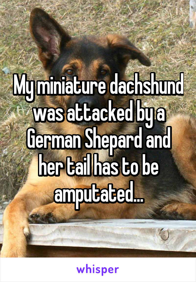 My miniature dachshund was attacked by a German Shepard and her tail has to be amputated...