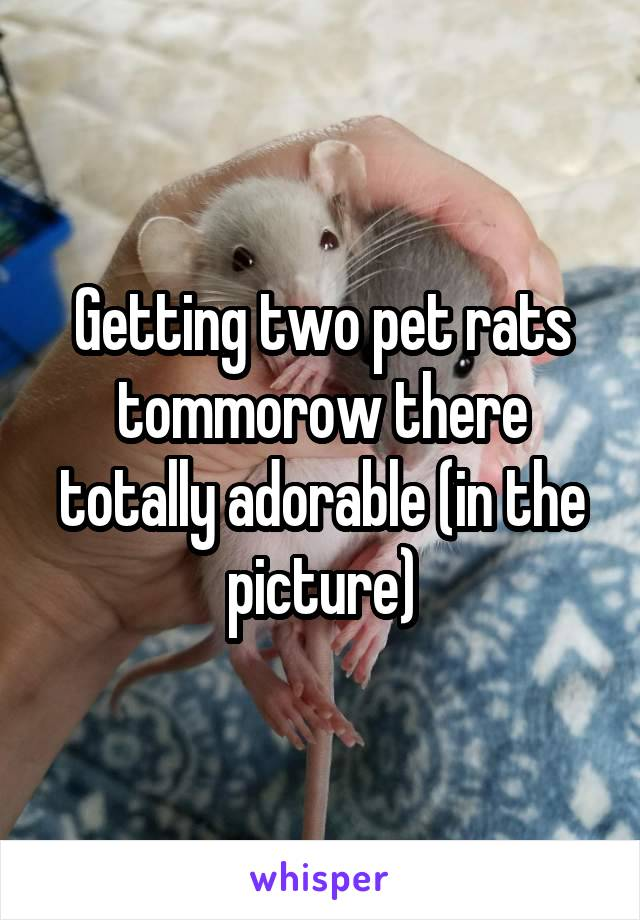 Getting two pet rats tommorow there totally adorable (in the picture)