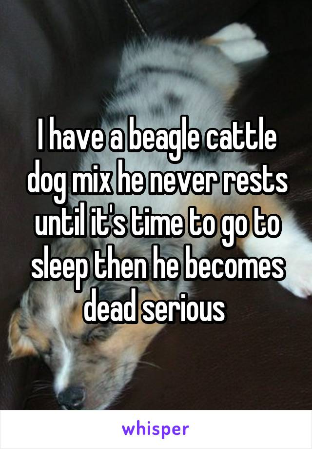 I have a beagle cattle dog mix he never rests until it's time to go to sleep then he becomes dead serious