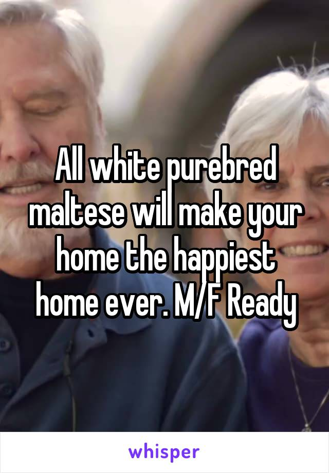 All white purebred maltese will make your home the happiest home ever. M/F Ready