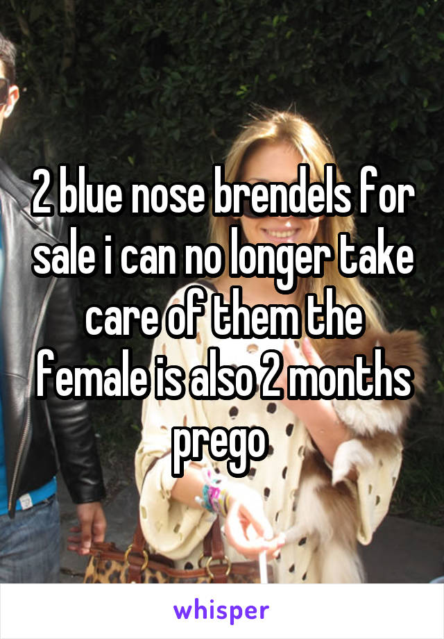 2 blue nose brendels for sale i can no longer take care of them the female is also 2 months prego