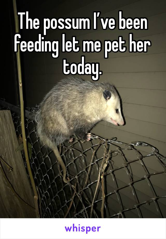The possum I've been feeding let me pet her today.
