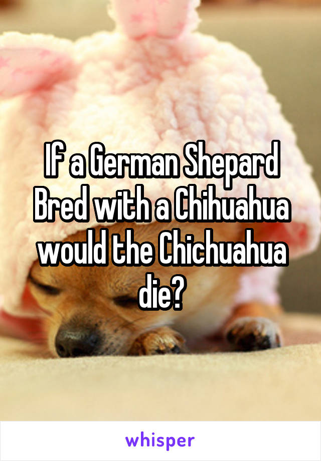 If a German Shepard Bred with a Chihuahua would the Chichuahua die?