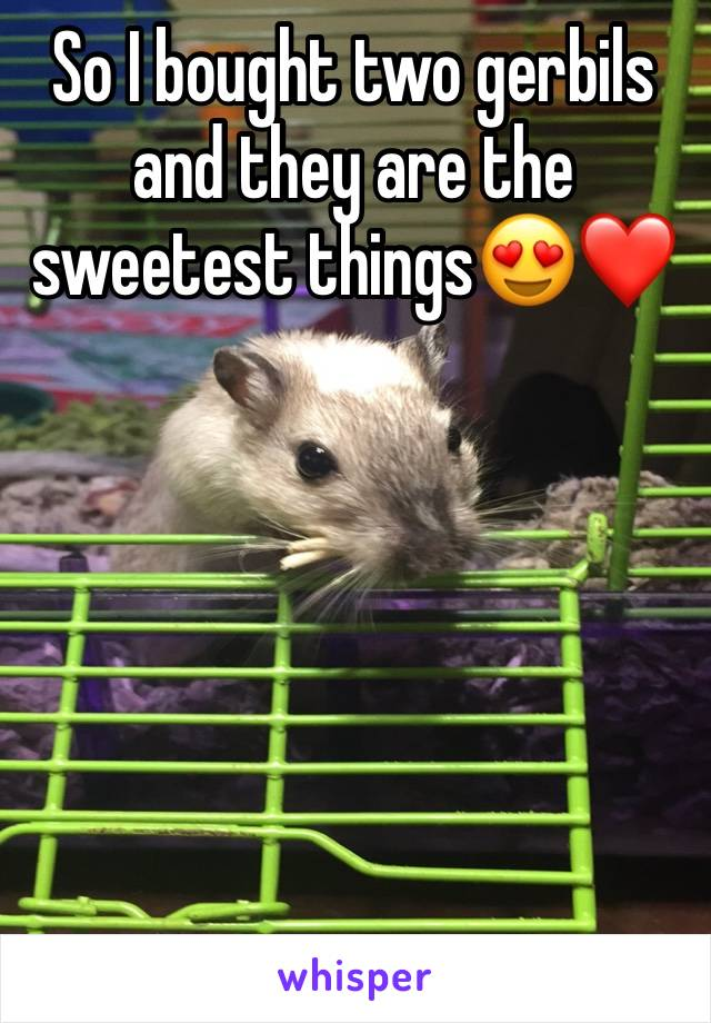 So I bought two gerbils and they are the sweetest things😍❤️