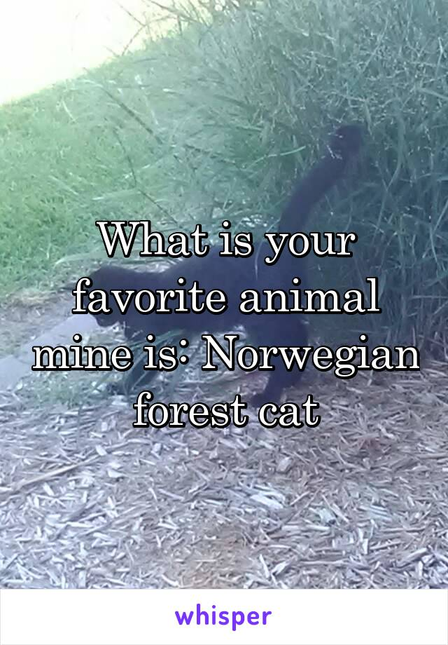 What is your favorite animal mine is: Norwegian forest cat