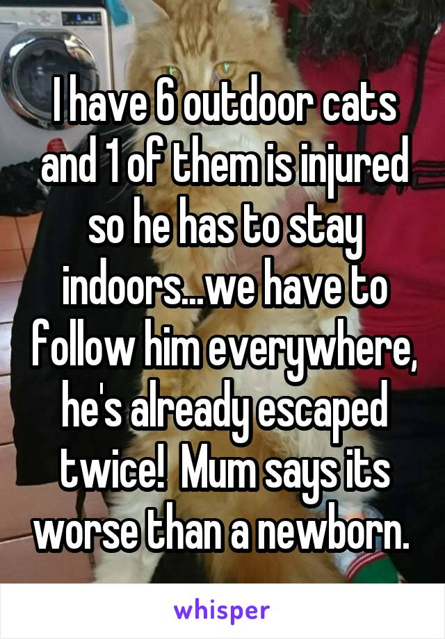 I have 6 outdoor cats and 1 of them is injured so he has to stay indoors...we have to follow him everywhere, he's already escaped twice!  Mum says its worse than a newborn.
