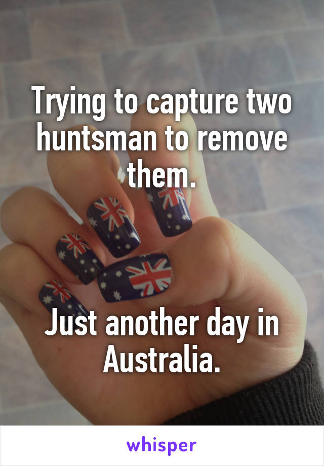 Trying to capture two huntsman to remove them.    Just another day in Australia.