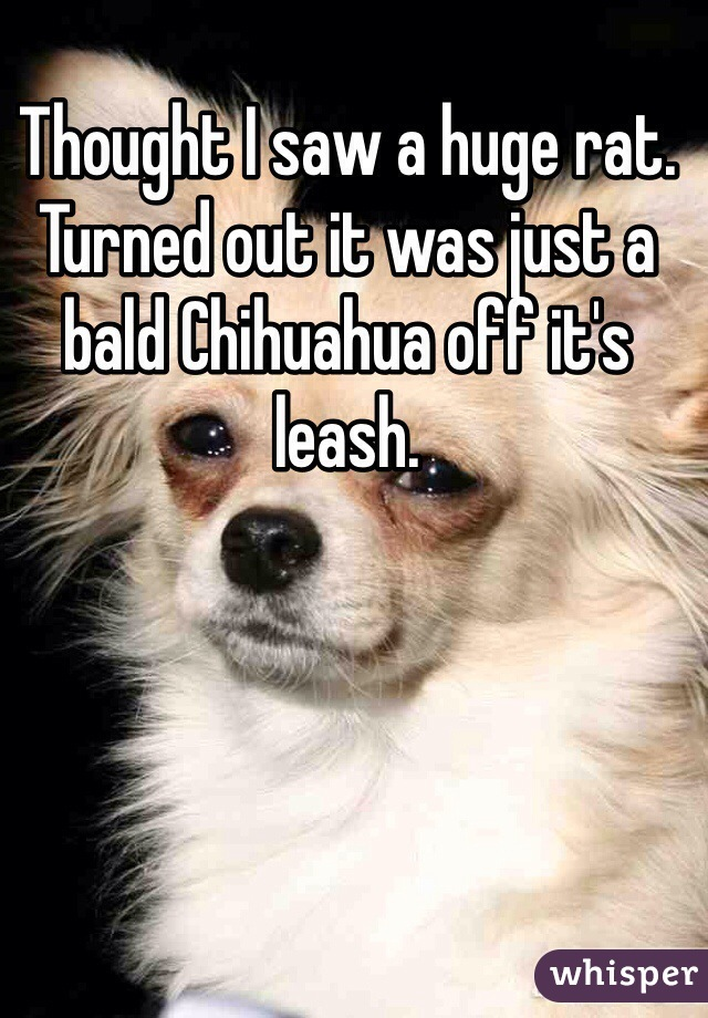 Thought I saw a huge rat. Turned out it was just a bald Chihuahua off it's leash.