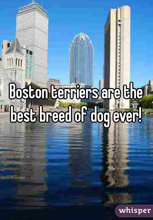 Boston terriers are the best breed of dog ever!
