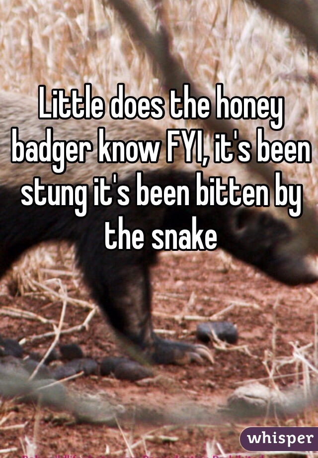 Little does the honey badger know FYI, it's been stung it's been bitten by the snake