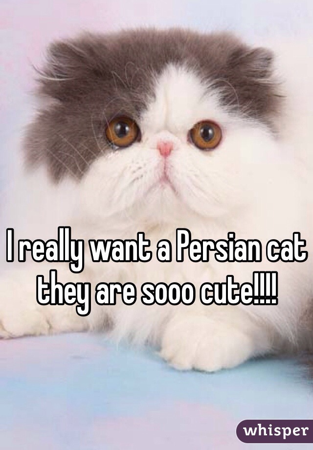 I really want a Persian cat they are sooo cute!!!!