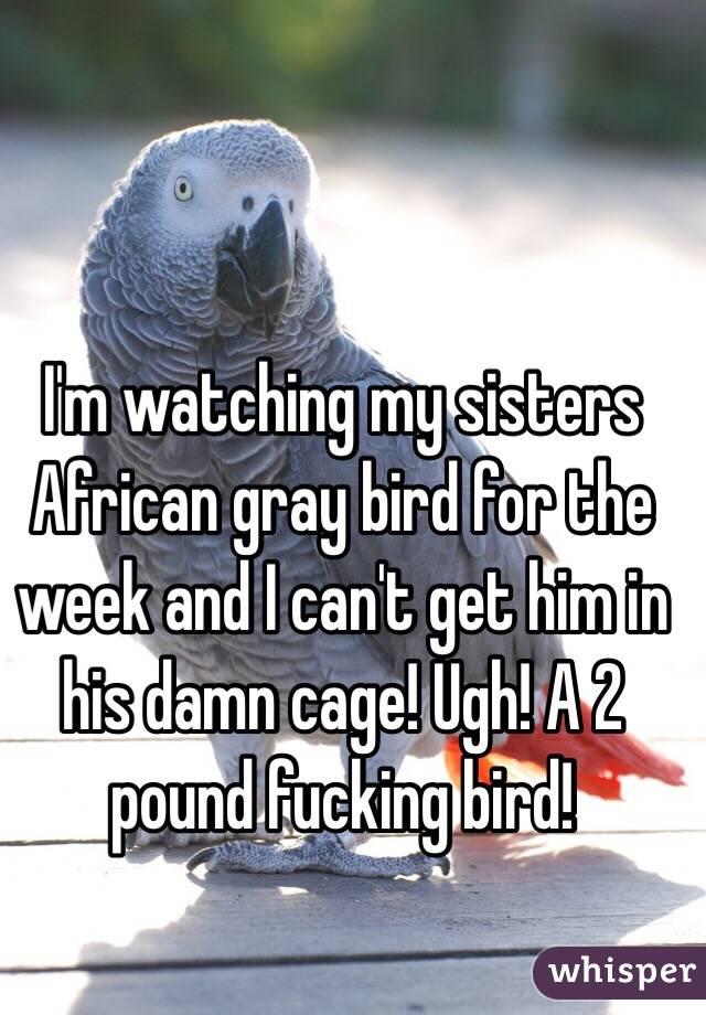 I'm watching my sisters African gray bird for the week and I can't get him in his damn cage! Ugh! A 2 pound fucking bird!
