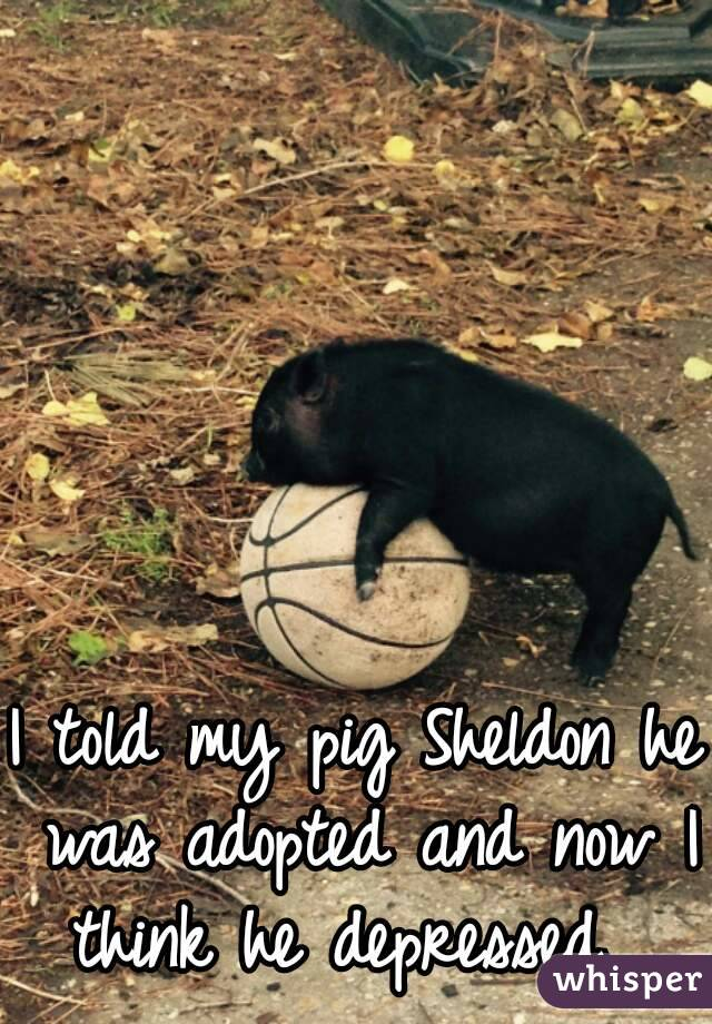 I told my pig Sheldon he was adopted and now I think he depressed