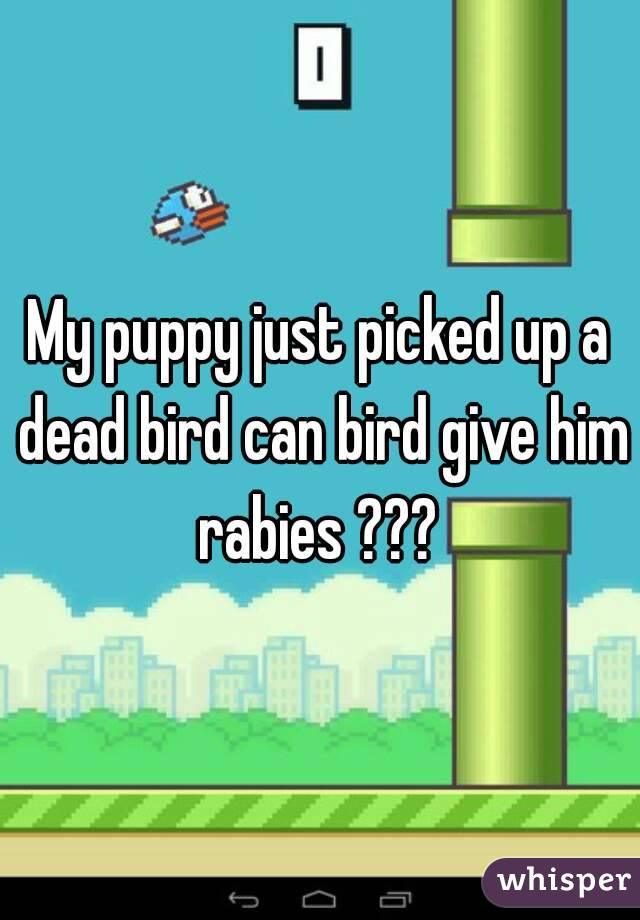 My puppy just picked up a dead bird can bird give him rabies ???