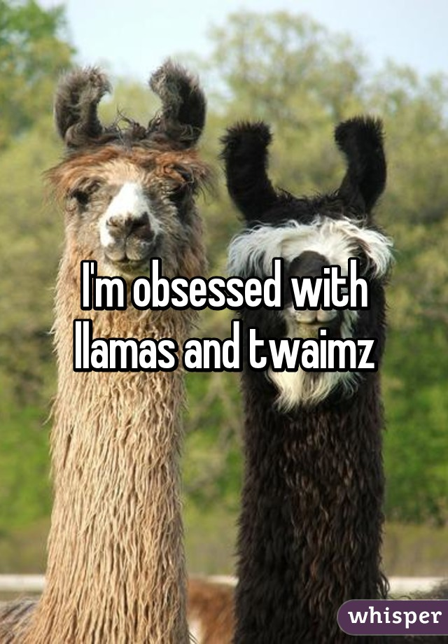 I'm obsessed with llamas and twaimz