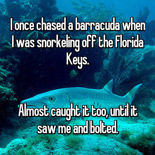 I once chased a barracuda when I was snorkeling off the Florida Keys.   Almost caught it too, until it saw me and bolted.