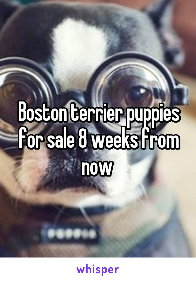 Boston terrier puppies for sale 8 weeks from now